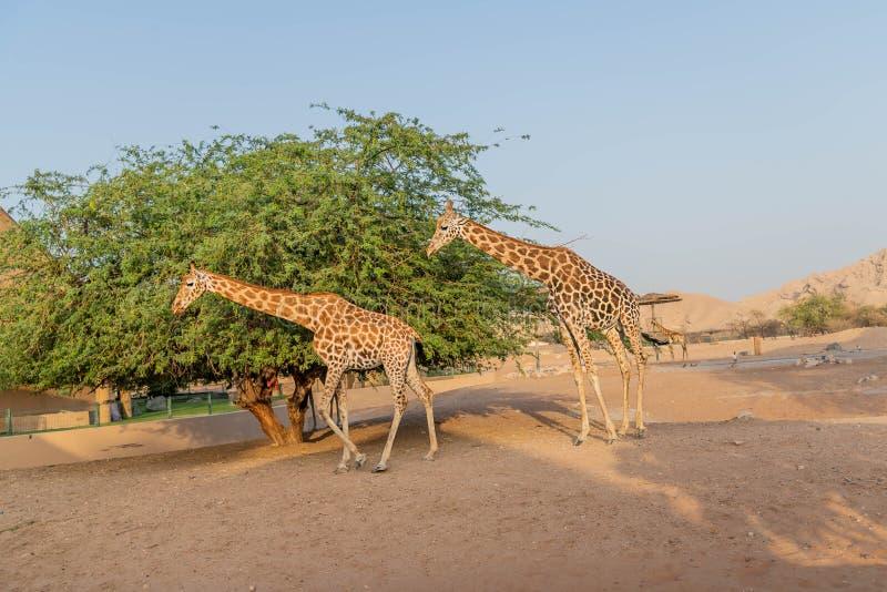 Жираф красивого дикого животного высокорослый в парке сафари зоопарка Al Ain, Объениненных Арабских Эмиратах стоковые изображения rf
