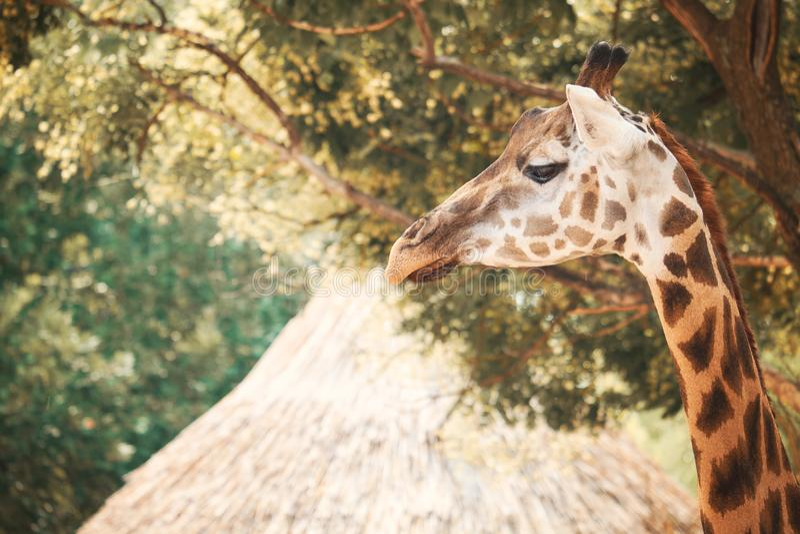 Жираф младенца стоковое изображение rf