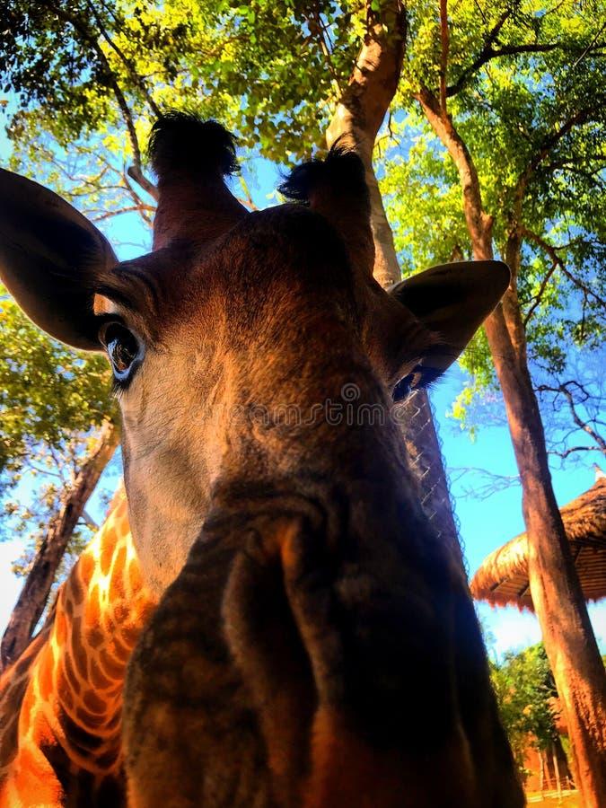 Жираф наблюдает вас стоковая фотография