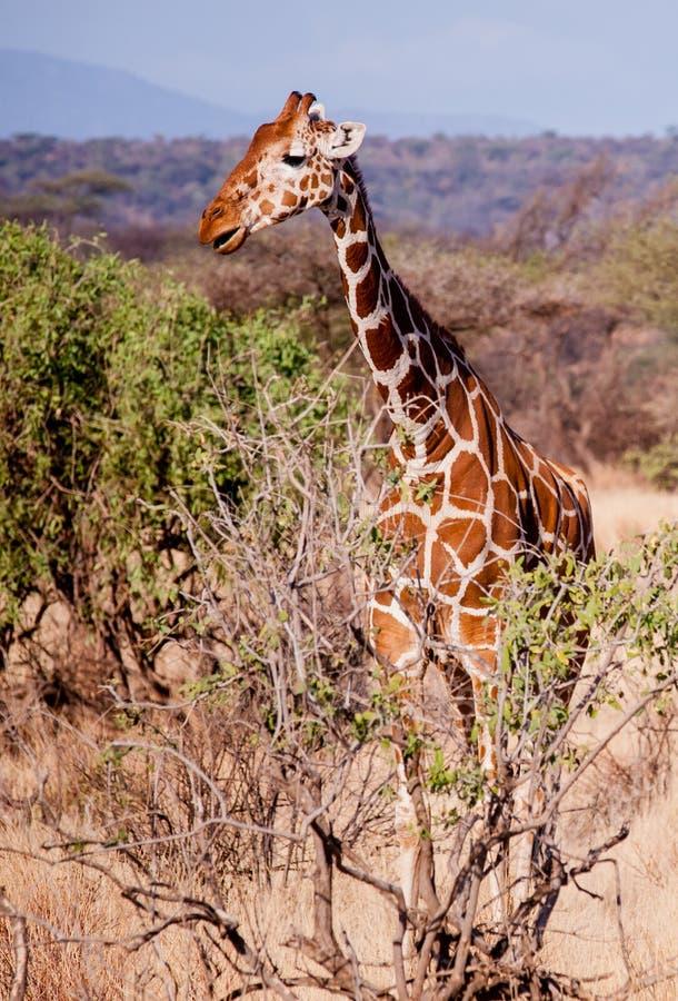 Жираф на африканской саванне в Кении стоковые изображения rf