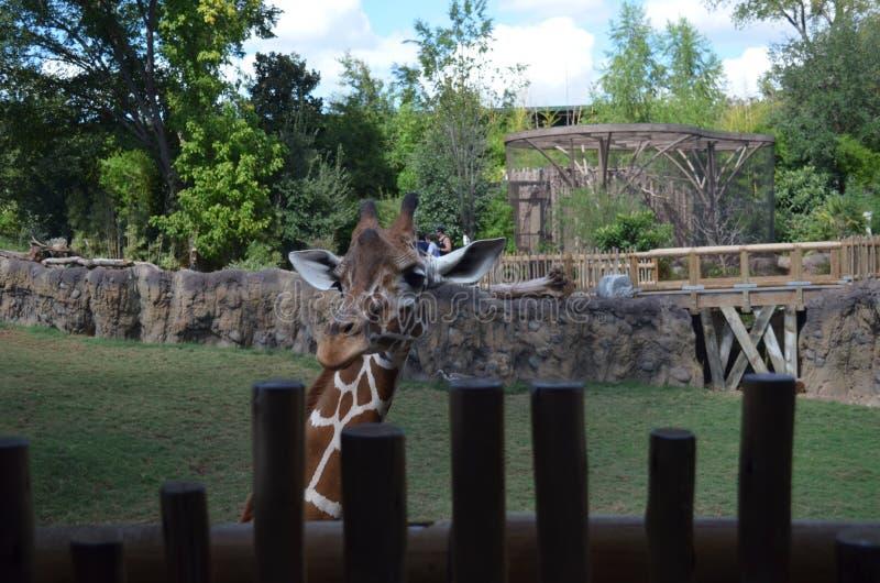 Жираф на зоопарке рассматривая загородка стоковые изображения rf