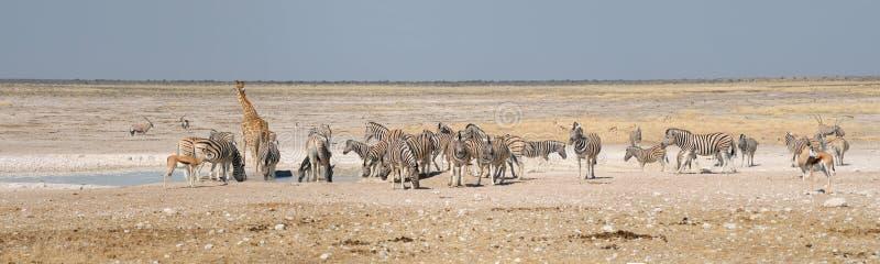 Жираф, прыгун, сернобык и зебры стоковые изображения