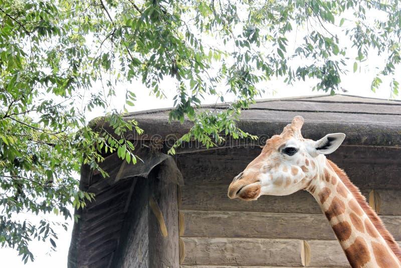 Жираф смотря через высокую деревянную загородку на зоопарке Сиднея стоковая фотография