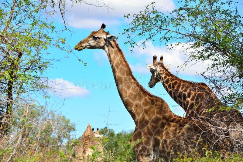 Download Жираф стоя в африканском кусте Стоковое Фото - изображение насчитывающей высоко, облака: 40592074