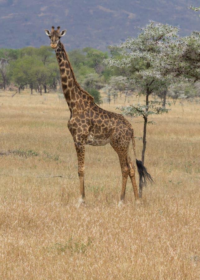 Жираф стоя и смотря в саванне Serengeti стоковые изображения