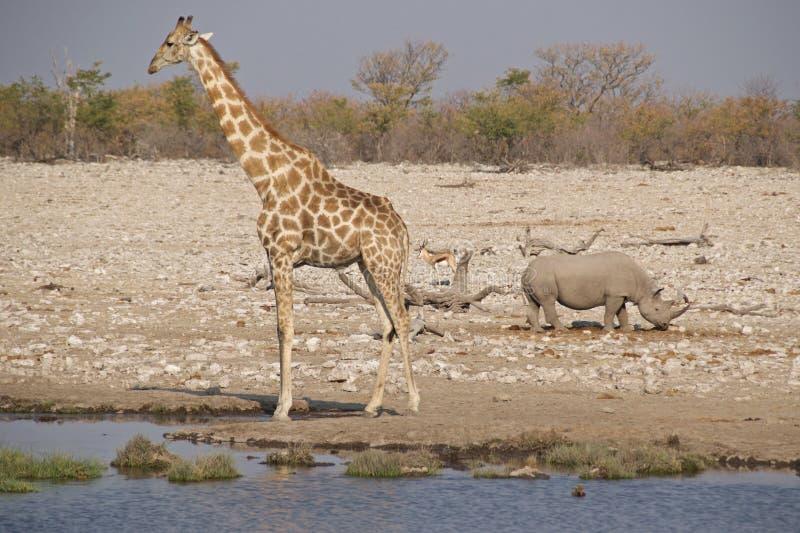 Жираф, черный носорог и прыгун на waterhole стоковые фотографии rf