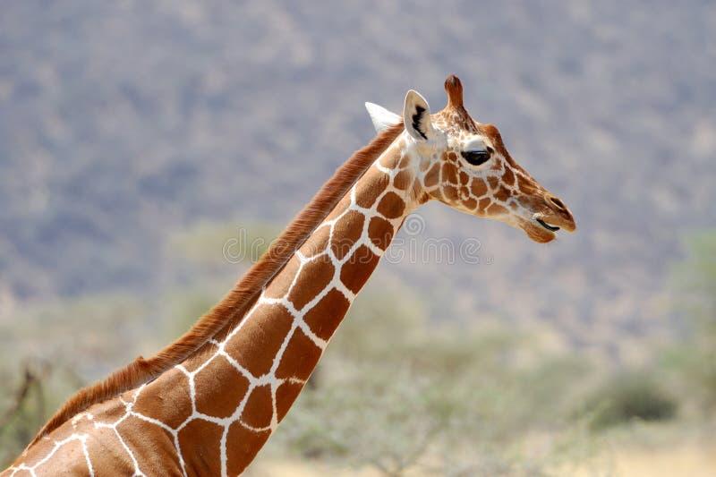 Download Жираф стоковое изображение. изображение насчитывающей шея - 40583911