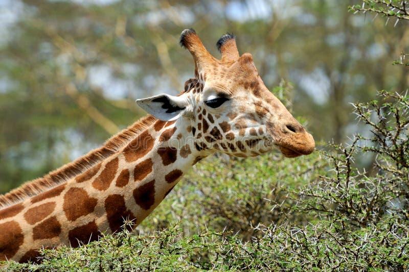 Download Жираф стоковое фото. изображение насчитывающей backhoe - 40583918