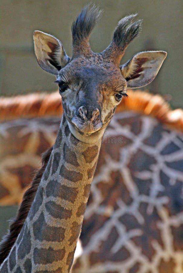 Жираф стоковые фотографии rf