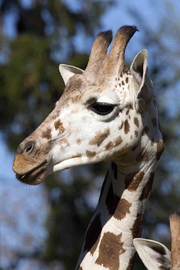 Жираф Baringo портрета женский, camelopardalis Rothschild Giraffa стоковое изображение rf