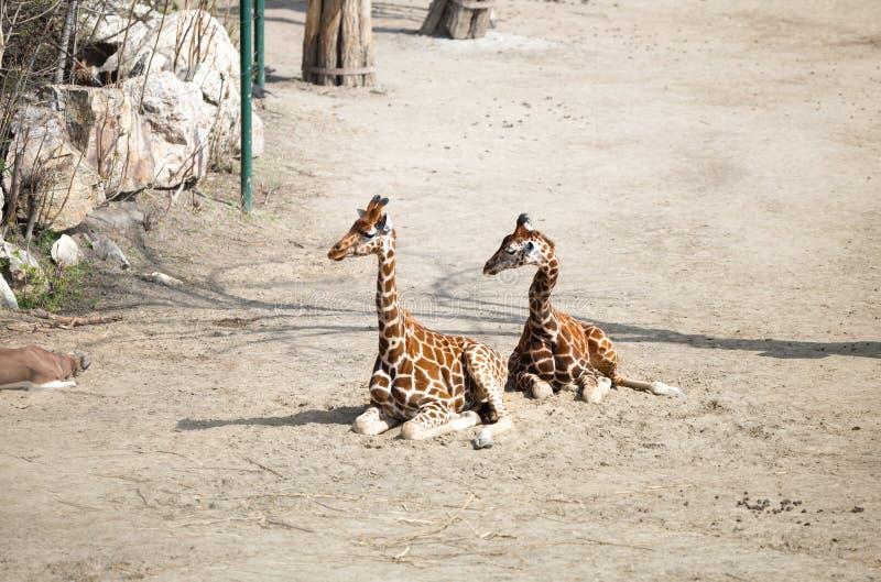 Жираф Baringo стоковое фото