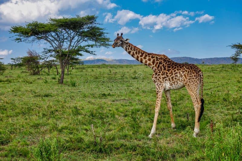 Жираф, luscious зеленые злаковики и деревья акации Serengeti Танзании стоковое фото rf