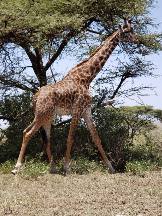 Жираф Masai в национальном парке Serengeti, Танзании стоковые изображения