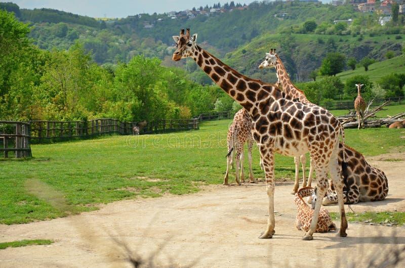 Жираф Rothschild на зоопарке в Праге стоковое изображение rf