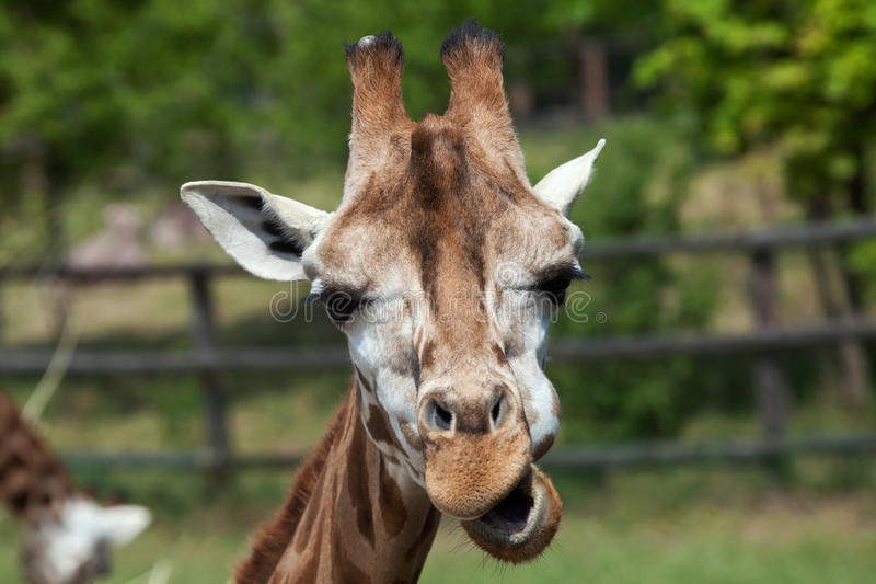 Жираф Rothschild (rothschildi camelopardalis Giraffa) стоковые фото