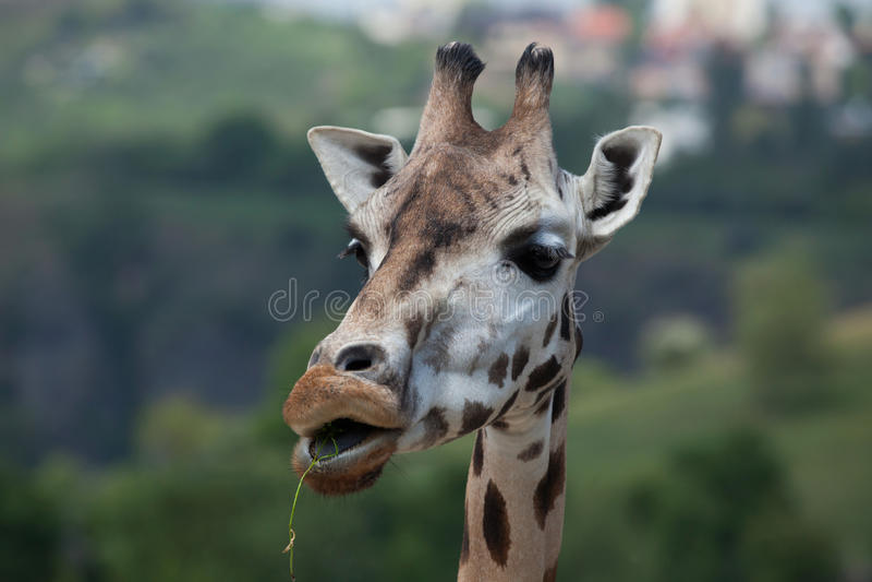 Жираф Rothschild (rothschildi camelopardalis Giraffa) стоковое изображение rf