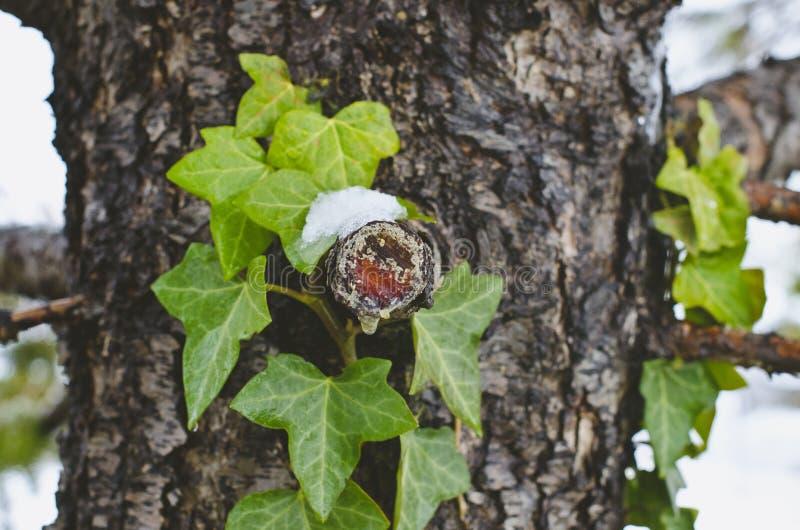 Жирная древесина на хоботе сосны зимы стоковое фото rf
