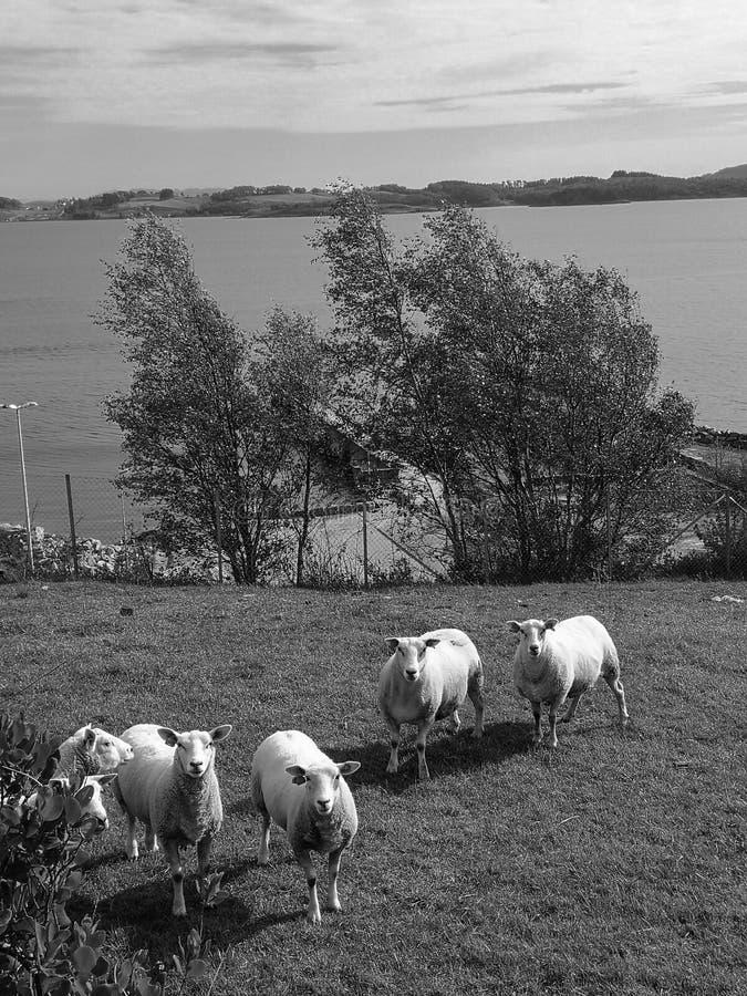 Жирные овцы в черно-белом стоковые фотографии rf