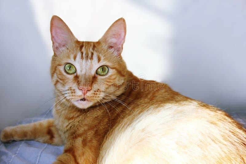Жирный кот имбиря смотря камеру стоковые фотографии rf