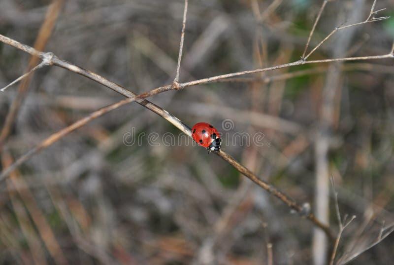 Жителя леса: ladybug стоковые фото