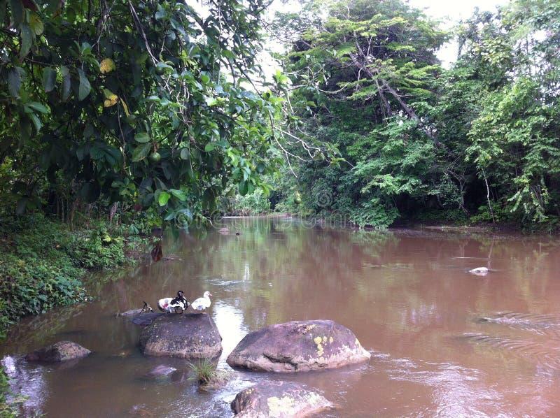 Жить в тропическом лесе в Перу стоковое изображение rf
