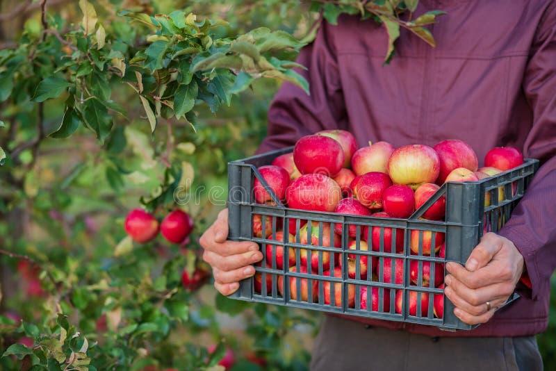Жмущ органические красные яблоки, переполняя клеть яблок стоковое фото