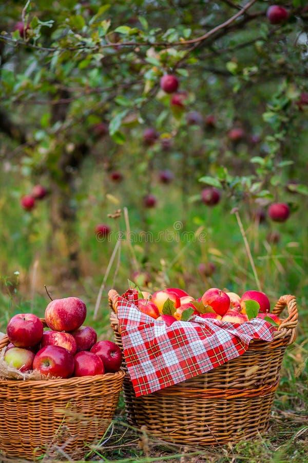 Жмущ органические красные яблоки, переполняя корзина яблок стоковая фотография