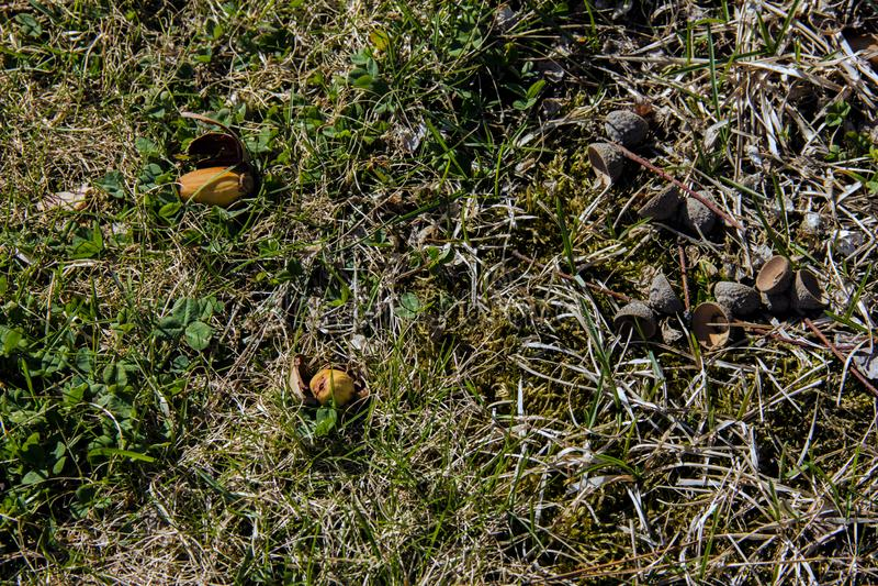 Жолуди созрели и полили от дерева Засевать в диком стоковое фото rf