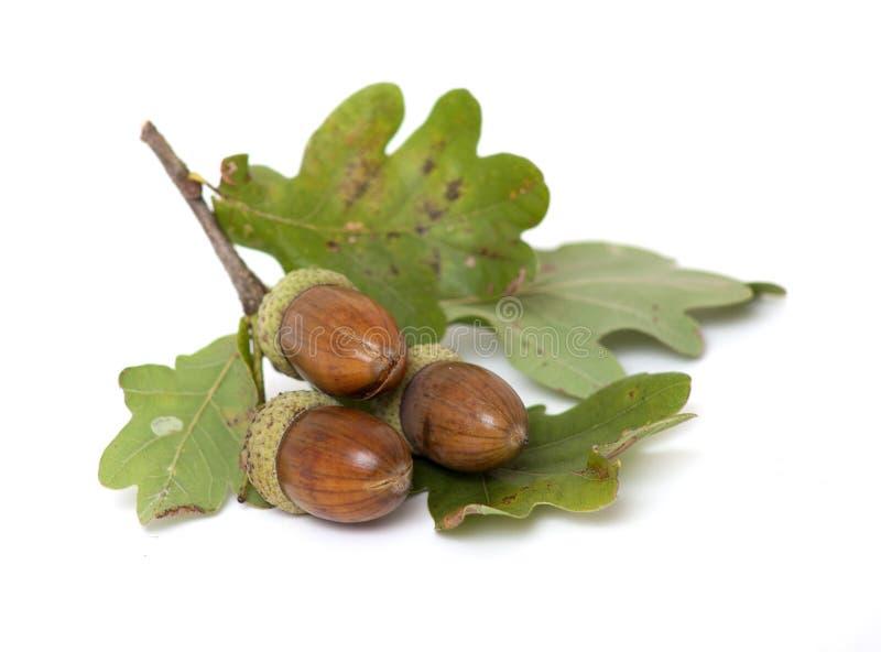 Жолуди с листьями дуба стоковые фото