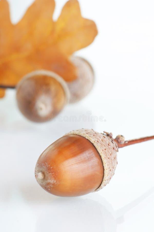 жолуди стоковые фото