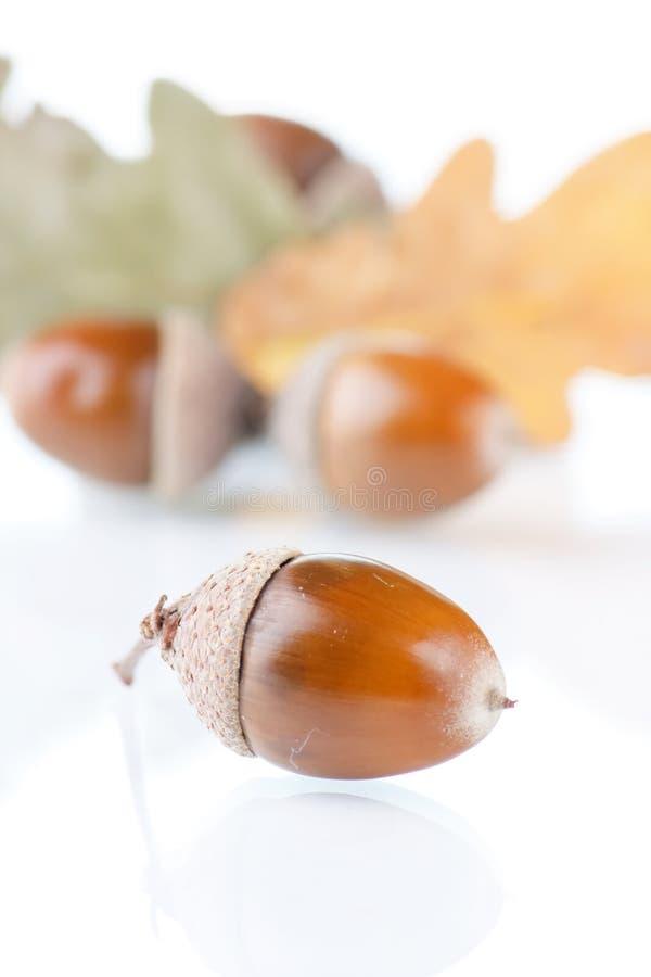 жолуди стоковое изображение
