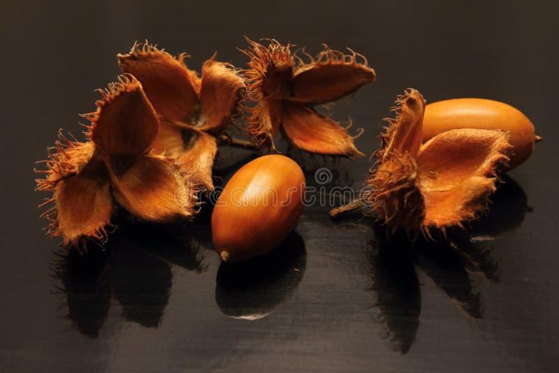 Жолуди и beechnuts стоковое изображение rf