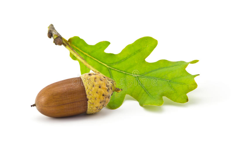 Download Жолуди стоковое изображение. изображение насчитывающей семя - 33642089