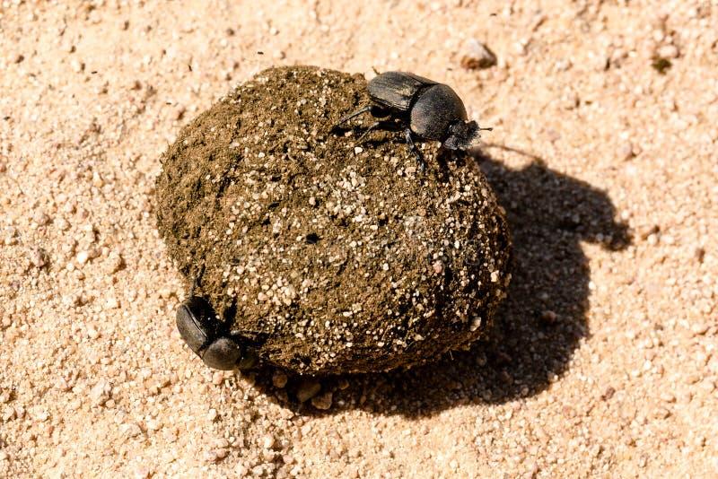 Жуки навоза свертывая их шарик стоковые изображения