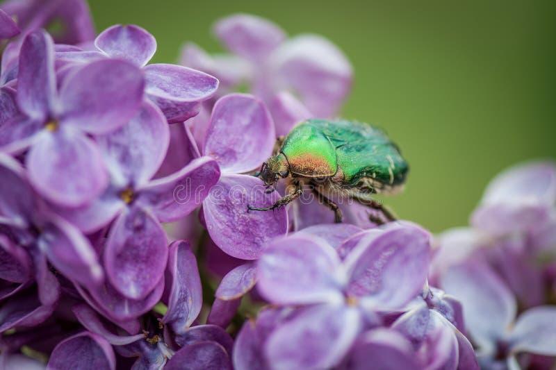 Жук, вызвал розовый жук-чефер на предпосылке пурпурных зацветая цветков сирени стоковое изображение rf