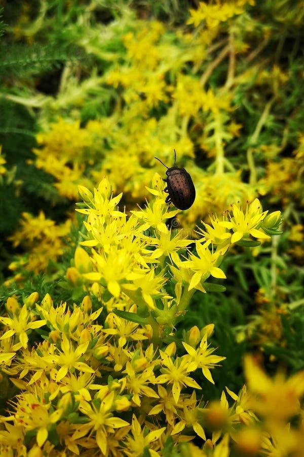 Жук и маленькие желтые цветки стоковая фотография rf
