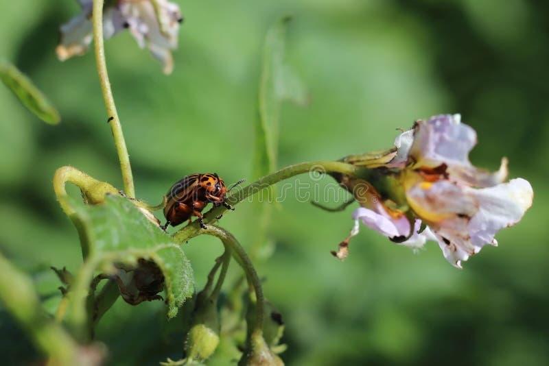 Жук Колорадо ест зеленые листья картошек Макрос снял бича на кустах nightshade Striped насекомое разрушает агро-я стоковая фотография rf