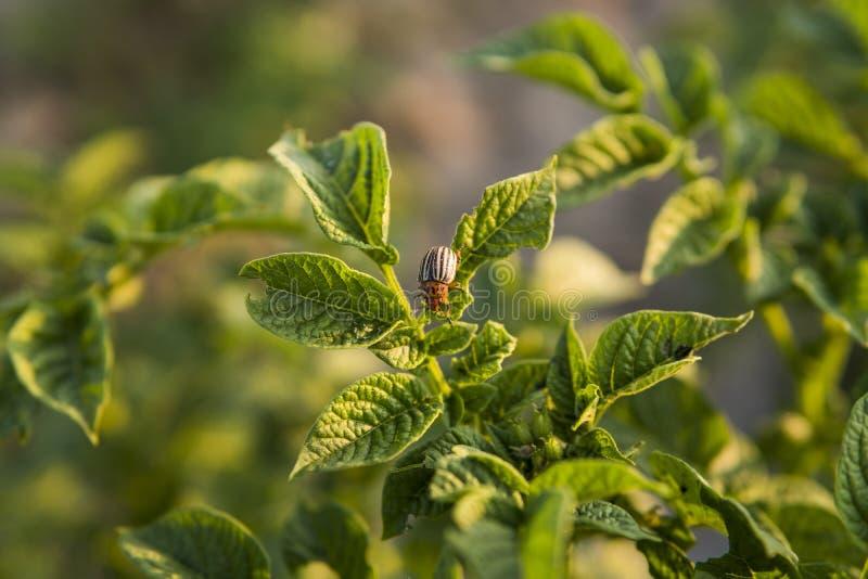 Жук Колорадо на листе куста картошки в саде Опасный бич для земледелия Макрос стоковые изображения