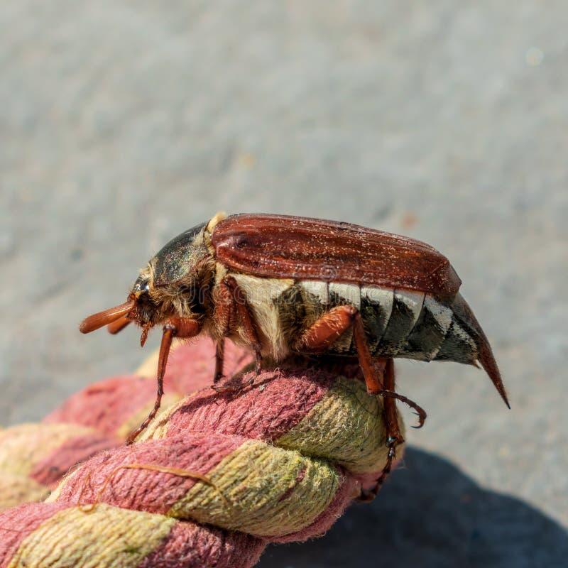 Жук майского жука, melolontha Melolontha, взбираясь на веревочке стоковые фото