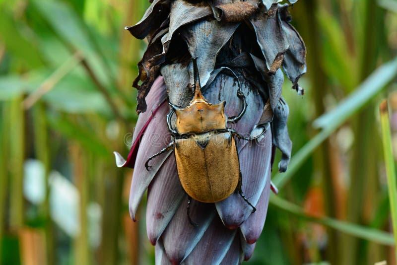 Жук носорога жука носорога aka стоковая фотография