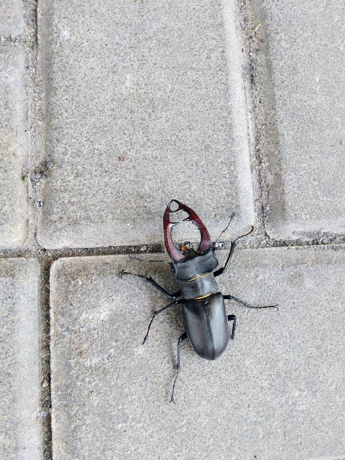 Жук оленей на бетонных плитах Lucanus Servus, Красная книга : стоковые фотографии rf