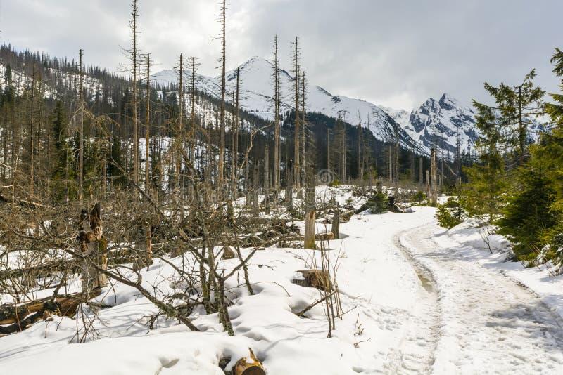 Жук расшивы европейца елевый атаковал деревья в лесе стоковое изображение rf