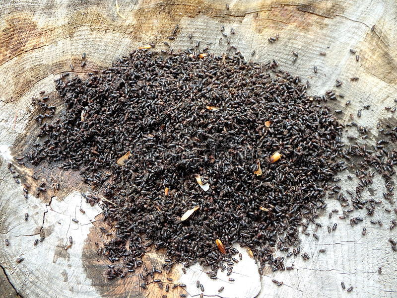 Жук расшивы европейца елевый (typographus Ips) стоковые фото