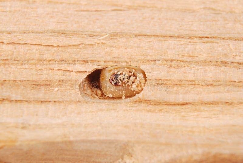 Жук расшивы Scolytinae личинки Личинка жуков расшивы безногих в его роет стоковые изображения rf