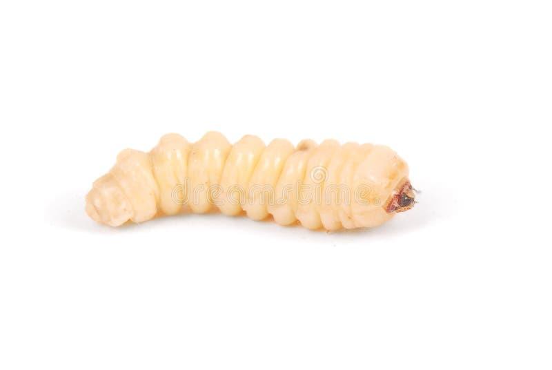 Жук расшивы Scolytinae личинки Личинка жуков расшивы безногих в его роет стоковое фото rf