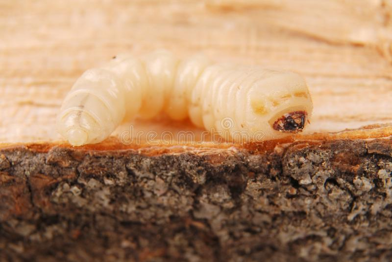 Жук расшивы Scolytinae личинки Личинка жуков расшивы безногих стоковые фото