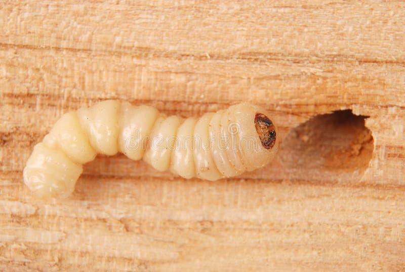 Жук расшивы Scolytinae личинки Личинка жуков расшивы безногих стоковое фото