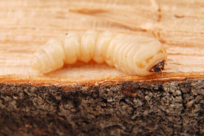 Жук расшивы Scolytinae личинки Личинка жуков расшивы безногих стоковые изображения rf