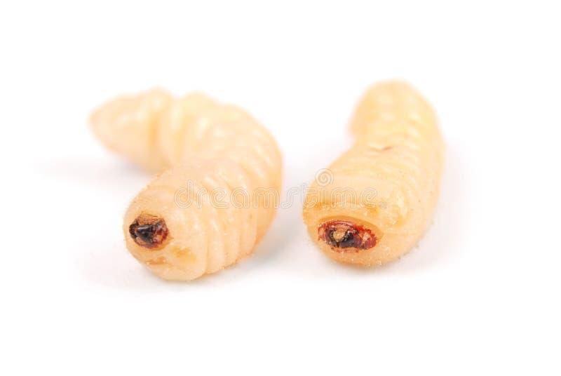 Жук расшивы Scolytinae личинки Личинка жуков расшивы безногих стоковые фотографии rf