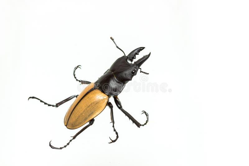 Жук рогача & x28; Mouhoti Odontolabis & x29; Мужские стоковое изображение rf